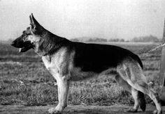 German Shepherd Dog - V2 Hein vom Richterbach (1948) | pedigreedatabase.com
