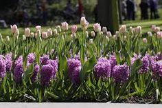 spring bulbs landscape - Google Search