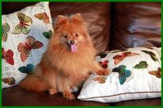 Mango is an adoptable Pomeranian Dog in Dallas, TX. ADOPTION FEE: $400 Approximate AGE: 6 years old Vaccination Date: February 2013 Health: Excellent. No obvious health issues Weight:7 lbs Mango is...