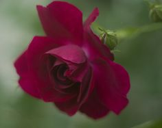 Poem for Saturday, and the Inspiration of Red, Red Roses