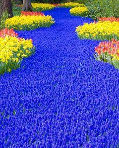 Spring Time In Holland -- a sea of blue flowers - grandmasmolasses.com #beautiful #blue #flowers