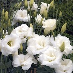 Ivory Eustoma produces blooms of ivory. Rock Garden Plants, Garden Types, White Flowers, Beautiful Flowers, Lisianthus Flowers, Dwarf Plants, Flower Names, Annual Flowers, Summer Garden