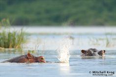 On the Kazinga channel in Queen Elizabeth National Park, Uganda - Copyright Mitchell Krog