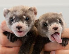 Government drones spray ferrets with M&Ms     - CNET  Enlarge Image  Juvenile black-footed ferrets.                                               USFWS                                           M&Ms arent just for snacking in the office or gorging on during Halloween. They could also give the endangered black-footed ferret a better chance at survival.   In an effort to prevent the black-footed ferret population from decreasing in the United States the US Fish and Wildlife Service or USFWS…