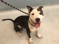 ●10•21•16 STILL THERE●☆☆PUPPY☆☆ Urgent Manhattan - GREG - #A1093887 - MALE GRAY/WHITE AM PIT BULL TER MIX, 8 Mos - STRAY - NO HOLD Reason STRAY - Intake 10/18/16 Due Out 10//21/16