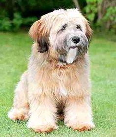 Tibetan terrier