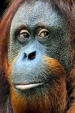 Fort Wayne Children's Zoo vet helping unravel the mysteries of orangutan health Zoo Veterinarian, Vet Help, Fort Worth Zoo, Ape Monkey, Orangutans, Veterinarians, Pet Health, Monkeys, Wildlife