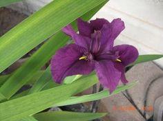 Bog iris growing in my pond. Bog Plants, Jack Russell Terrier, Pond, Iris, Scenery, Flowers, Water Pond, Landscape, Paisajes