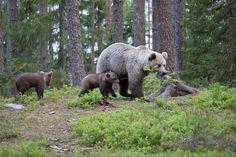 Ruutuihin osui niin vilkuttava karhu kuin karhuemo poikasineen.