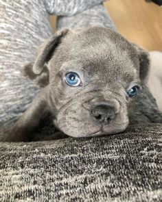 Is an English Bulldog The Perfect Dog For You? French Bulldog Personality, French Bulldog Meme, French Bulldog Adult, White French Bulldog Puppies, Merle French Bulldog, French Bulldog Harness, Every Dog Breed, The Perfect Dog, Purebred Dogs