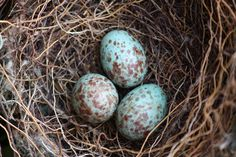 Mocking Bird Eggs | Three peas in a pod | By: WhiteWolf35 | Flickr - Photo Sharing!