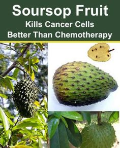 Soursop Fruit: Kills Cancer Cells Better Than Chemotherapy...http://improvedaging.com/soursop-fruit-kills-cancer-cells-better-than-chemotherapy/