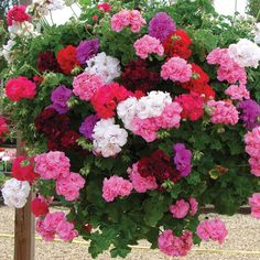 Geranium hanging basket - shade loving plants that bloom all season.