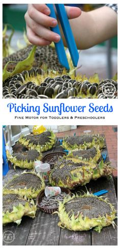 Preschool Fine Motor Fun with Sunflowers, tweezing sunflower seeds for spring and summer - Teaching 2 and 3 Year Olds