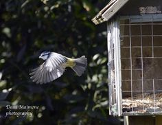 Blue Tit leaving the feeder. Took three hours to capture!