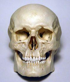 Male Human Skull Replica by artskulls on Etsy, $178.72