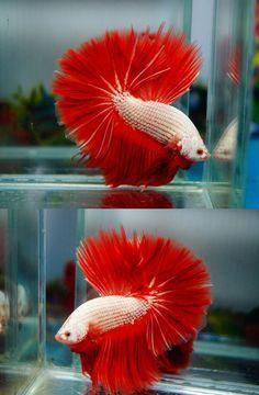 Platinum orange dragon HM male