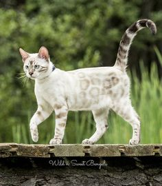 Visit our website to discover our planned litters and all of the future kittens we'll have to offer. Wild & Sweet offers bengal kittens since Cute Cats And Kittens, Cool Cats, Ragdoll Kittens, Funny Kittens, White Kittens, Adorable Kittens, Black Cats, Kittens Meowing, Kitty Cats