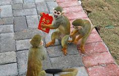 Chinese people receive red envelopes from elders during the Spring Festival or grab virtual red envelope on their smartphones. Now monkeys in a Chongqing zoo also enjoy the joy of receiving red envelopes.