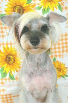 Japanese Dog Grooming Style Miniatuur Schnauzer - looks like Justin Bieber Dog Grooming Styles, Dog Grooming Tips, Dog Grooming Business, Japanese Dog Grooming, Japanese Dogs, Miniature Schnauzer Puppies, Schnauzer Puppy, Sweet Dogs, Cute Dogs