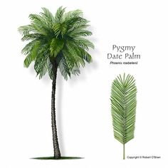 Phoenix roebelenii  Minature Date Palm sharp spines branching ,pinnate leaves