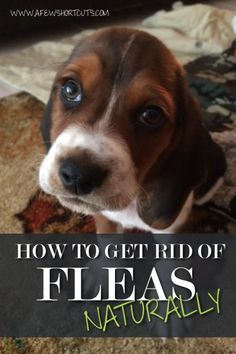 How to Get Rid of Fleas NATURALLY #diy #health