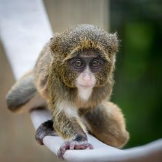 Baby De Brazza's Monkey VI by Abeselom Zerit - Photo 73251601 / 500px