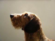The best picture of a wire haired dachshund by Patrice A.