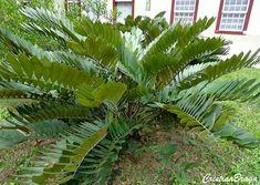 A Zamia e um arbusto, pertence à família Zamiaceae, nativa do México, perene, semilenhoso, possui tronco curto ou totalmente subterrâneo, crescimento .......