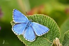 Adonis Blue Butterfly by Max Thompson