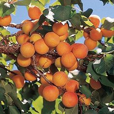 Planting an apricot tree is a great way to enjoy your own supply of fruit. Our apricot trees are highly productive and bear bushels of fruit each summer. Apricot Fruit, Apricot Tree, Growing Tree, Fast Growing, Companion Gardening, Growing Tomatoes In Containers, Light Pink Flowers, Fruit Seeds, Fresh Mint Leaves