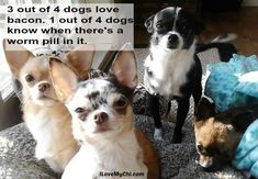 If you need a reason to smile today, check out these funny chihuahua memes! Funny Chihuahua Pictures, Chihuahua Quotes, Chihuahua Names, Cute Chihuahua, Dog Quotes, Funny Dogs, Boxer Mix Puppies, Pet Dogs, Pets