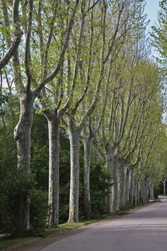 Sycamore trees lining the drive