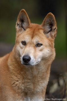 Portrait of a handsome dingo. The dingo (Canis familiaris) is a feral dog native to Australia. Although it lives in the wild, it's regarded as feral because it descended from ancestors living with native Australians. (photo by Stephen Bay) Australian Cattle Dog, Australian Animals, Australian Icons, Dingo Dog, Animals And Pets, Cute Animals, Saarloos, African Wild Dog, Wild Dogs