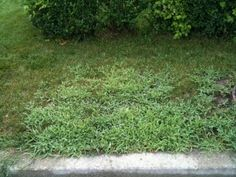 Crabgrass is a grassy weed that commonly infests lawns. Crabgrass is an annual plant which generally starts to germinate and appear beginning throughout late spring season and dies within the same year during the fall. Grass Weeds, Weed Control, Annual Plants, Lawn Care, Ecology, Garden Pots, Outdoor Decor, Lawns, Pisa Italy