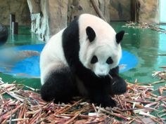 China's Sichuan Province is the home territory of the giant panda and several of the animals can be seen in the Panda House at the Chengdu Zoo. Chengdu, Panda Bear, China, House, Animals, Home, Animaux, Haus, Pandas