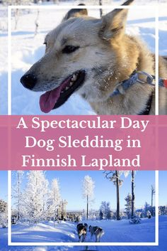 A Spectacular Day Dog Sledding in Finnish Lapland with Bearhill Husky   Travel Europe   Travel Finnish Lapland   Adventure Travel