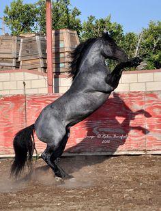 Kellys Blue King; Quarter Horse stallion; blue roan interesting coloring