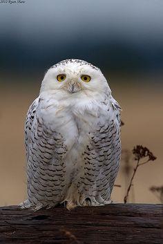 Snowy Owl (Bubo scandiacus)                                                                                                                                                                                 More
