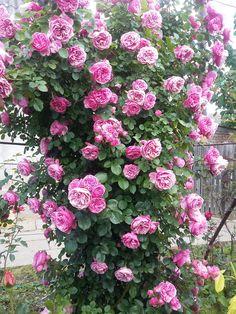 Leonardo da Vinci Rose
