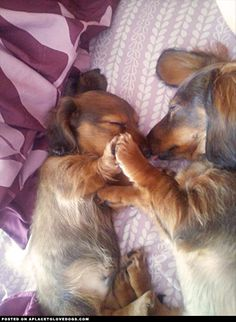aplacetolovedogs: Two adorable Dachshunds sleeping. A mama and her baby fell asleep like this, so so sweet! For more cute dogs and puppies