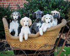 Afghan Hound Puppies - five in a buggy 💗 Hound Puppies, Hound Dog, Cute Puppies, Dogs And Puppies, Saluki Puppies, Beautiful Dogs, Animals Beautiful, Afghan Hound Puppy, Pet Dogs