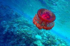 #jellyfish #redeas #egypt