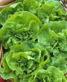 Butterhead Optima Lettuce