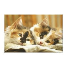 Close-up of two cats lying down canvas prints calico cuties