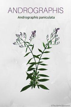 Medicinal Herb Andrographis paniculata