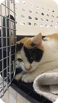 bridgeport, CT - Domestic Shorthair. Meet Cleo a Cat for Adoption.