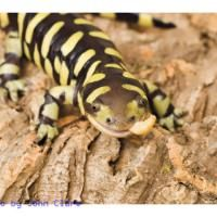 Tiger Salamander Care Sheet