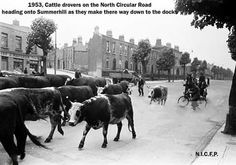 1953 Cattle on the North Circular rd, making their way to the Docks Old Photographs, Old Photos, Vintage Photos, Dublin Street, Dublin City, Cattle, Past, Ireland, Buildings