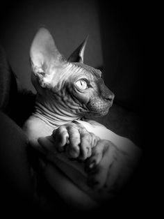 The black cat Devon Rex, Gatos Cool, Cornish Rex Cat, Sphinx Cat, Domestic Cat, Cool Pets, Beautiful Cats, Cat Breeds, Animal Pictures